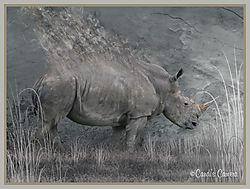 Rhino_Smokin_.jpg