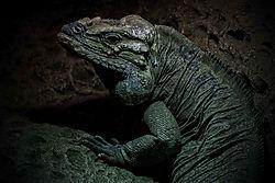 Rhinoceros_iguana.jpg