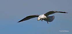 Ring-Billed-Gull-IN-Flight-PPW.jpg