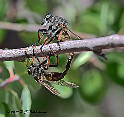 Robber-Flies-Mating-In-The-Grand-Canyon-PPW.jpg