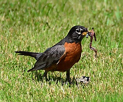 Robin_Eating_Lunch.jpg