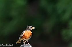 Robin_on_the_Fence-1.jpg