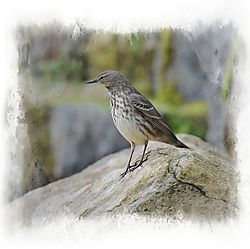 Rock_Pipit_framed.jpg