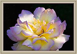 Rose---Lemon-Crush.jpg