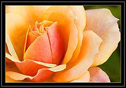 Rose---Origami.jpg