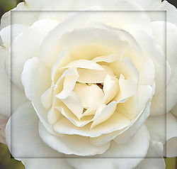 Rose---White-Heart.jpg