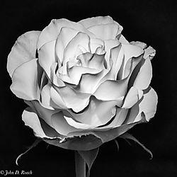 Rose_-_IR_Mono_1.jpg