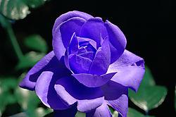Rose_002a.jpg
