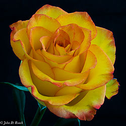 Rose_in_a_dream-7.jpg