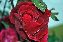 Rose_nach_Regen_DSC_0020.jpg