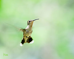 Ruby_Throated_Hummer_Coming_in_to_Feed.jpg