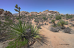 Ryan-Ranch-Area-of-Joshua-Tree-PPW.jpg