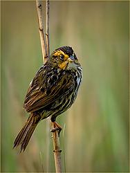 Saltmarsh-Sparrow_John-Straub.jpg
