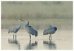 Sandhill-Cranes-Trio.jpg