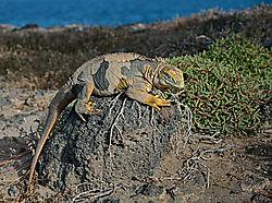 Santa-Fe-Land-Iguana-PPW.jpg