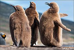 Saunders_Isl_King_Penguin_chics_c_1024_7061904.jpg