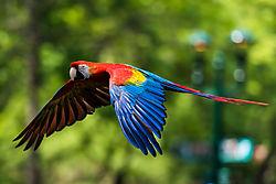 Scarlet_Macaw_in_Flight.JPG