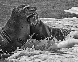 Sea-Lion-Surf-Snugggle_-John-Straub.jpg