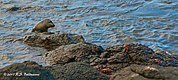 Sea-Lion-and-Crabs-on-Santa-Fe-Island-in-Galapagos-PPW.jpg