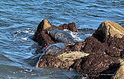 Sea-Lions-in-Pacific-Grove-CA.jpg
