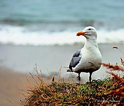 Seagull-on-the-Oregon-Coast-PPW1.jpg