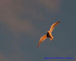 Seagull5.jpg