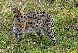 Serval_Cat_1_of_1_.jpg