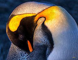 Sleepy_King_penguin_5616-3_-2_tonemapped.jpg
