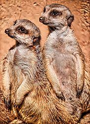 Slender-Tailed_Meerkats.jpg