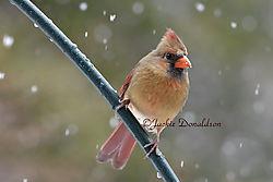 Snow_Cardinal_8161_150.jpg