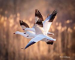 Snow_Geese21.jpg