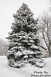 Snow_covered_evergreen.jpg
