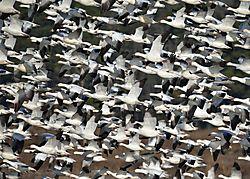 Snow_geese_taking_flight.jpg