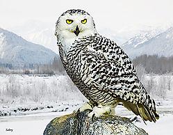 Snow_owl.jpg