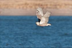 Snowy-Owl_72x1700_DRA_4783.jpg