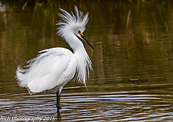 Snowy_Egret_Displaying1.jpg