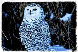 Snowy_Owl1.jpg
