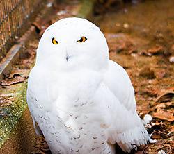 Snowy_Owl_Bronx_Zoo_.jpg