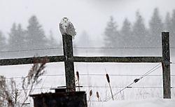 Snowy_in_Storm.jpg