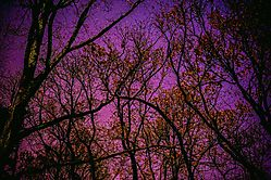 Some_Stars_Through_The_Trees_1.jpg
