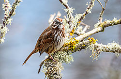 Song_Sparrow_Nisqually_National_Wildlife_Refuge_March_2018-1.JPG