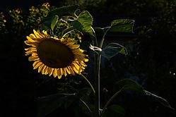 Sonnenblume02-1.jpg
