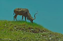 Spiral-Horned-Antelope_180621_125137_NLT8427.jpg