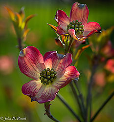 Spring_Dogwood_Blossoms.jpg