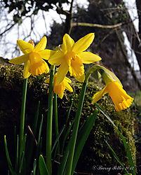 Spring_daffodills_web.jpg