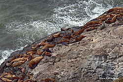 Stellar-Sealions-at-Sea-Lion-Caves_PPW.jpg