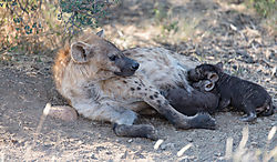 Suckling_Hyena_pups_1_of_1_.jpg