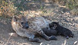 Suckling_Hyena_pups_3.jpg