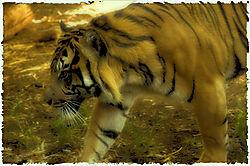 Sumatran_Tiger_2_polaroid.jpg