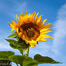 Summer_Sunflower-1.jpg
